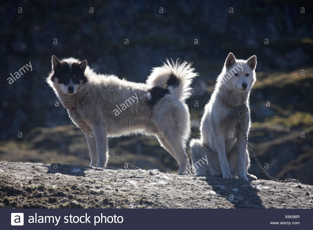 Greenland, Sisimiut, sled dogs, huskies, two, Western Greenland, rocks, animals, dogs, benefit animals, catenas, chained, sunny, outside, deserted, keeping of pets, - Stock Image