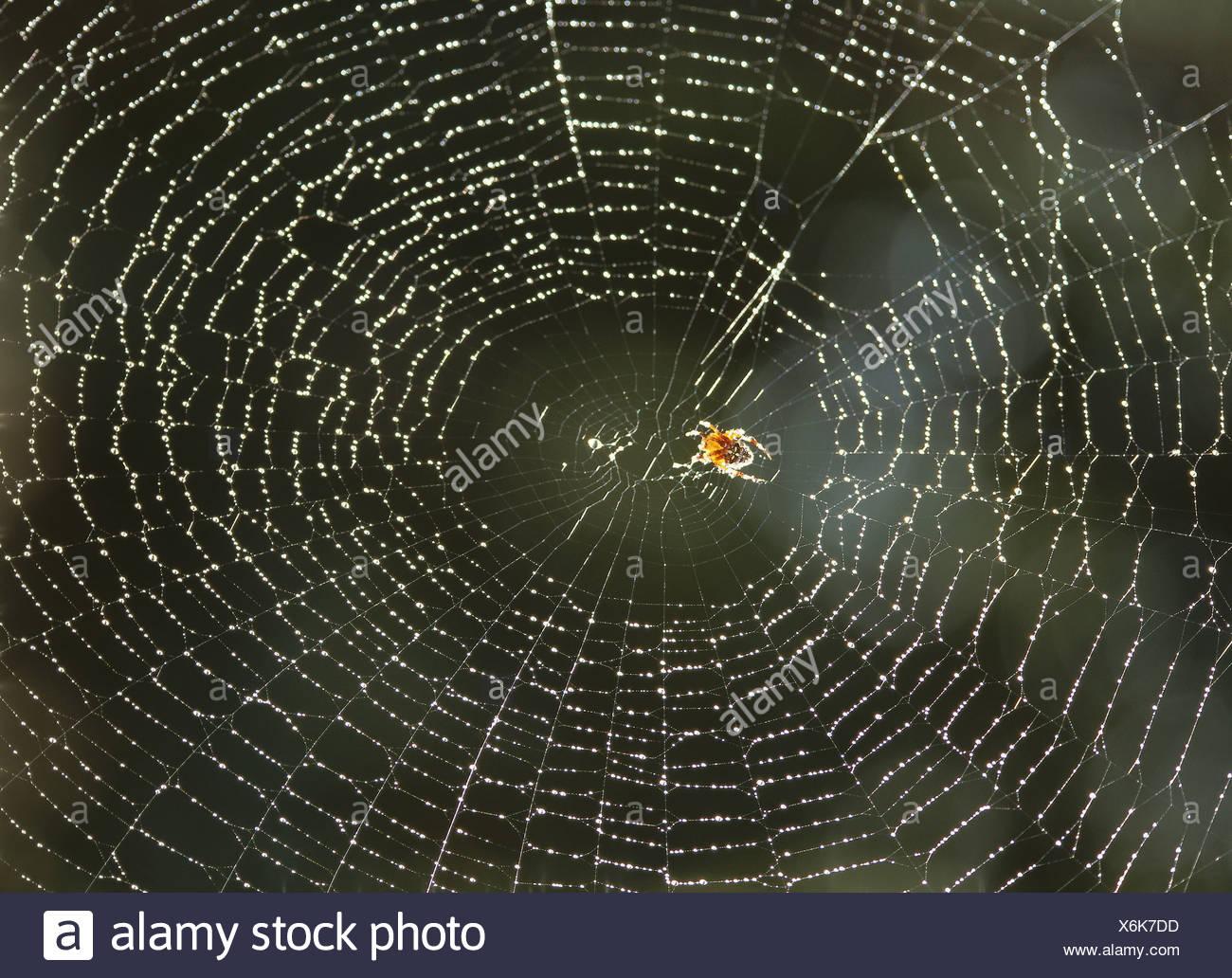 Cobweb wet cross-spider Araneus diadematus back light wildlife animal spider arachnid Webspinne wheel-net-spider Araneidae net - Stock Image