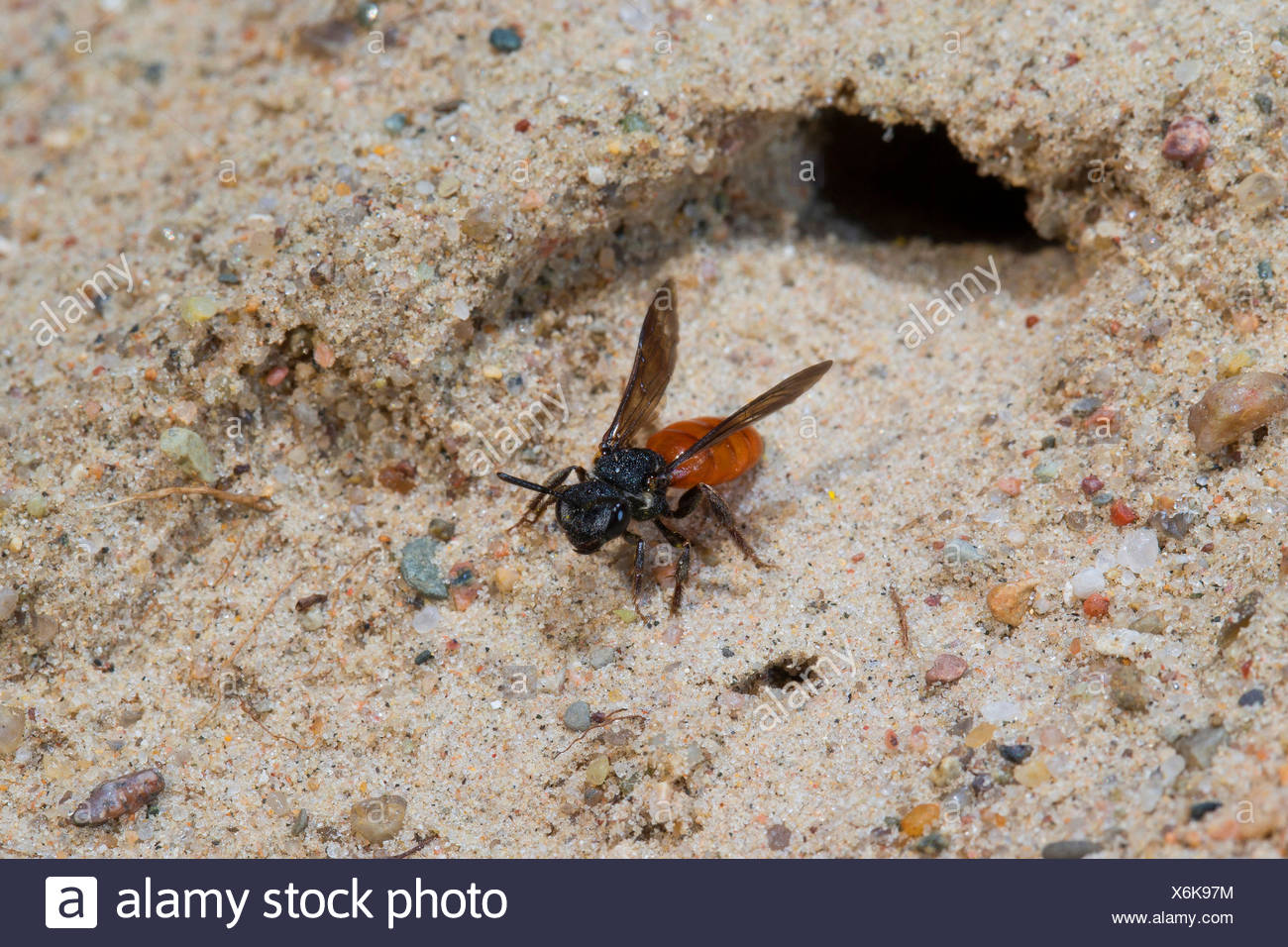 Sweat bee, Halictid Bee (Sphecodes albilabris, Sphecodes fuscipennis), taking off from its burrow, Germany - Stock Image