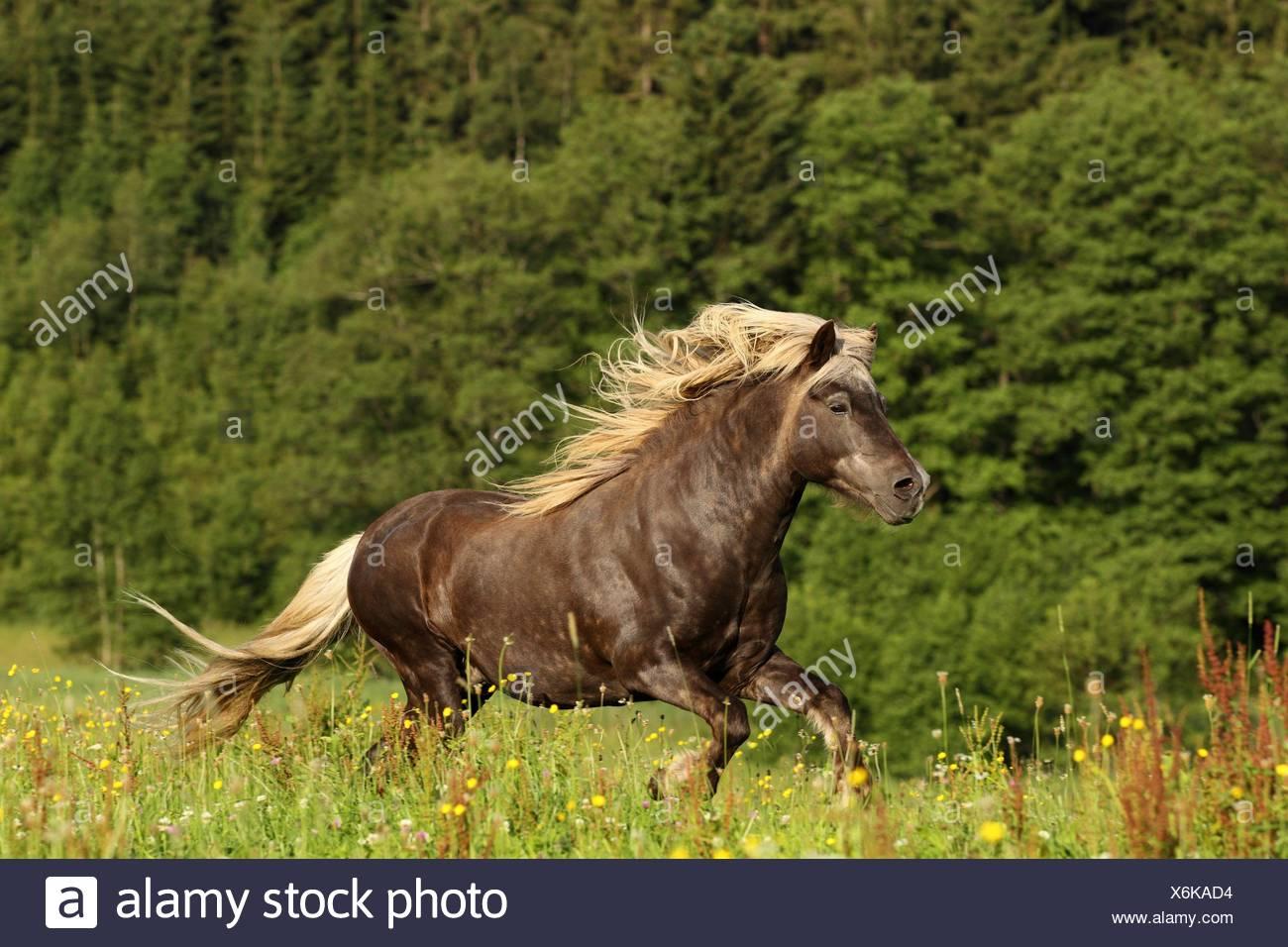 galloping Icelandic horse - Stock Image