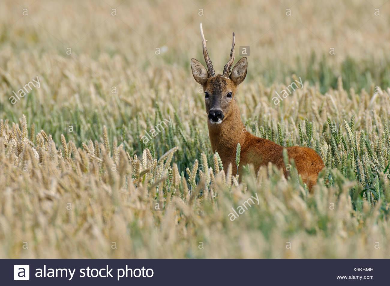 roebuck in field, capreolus capreolus - Stock Image