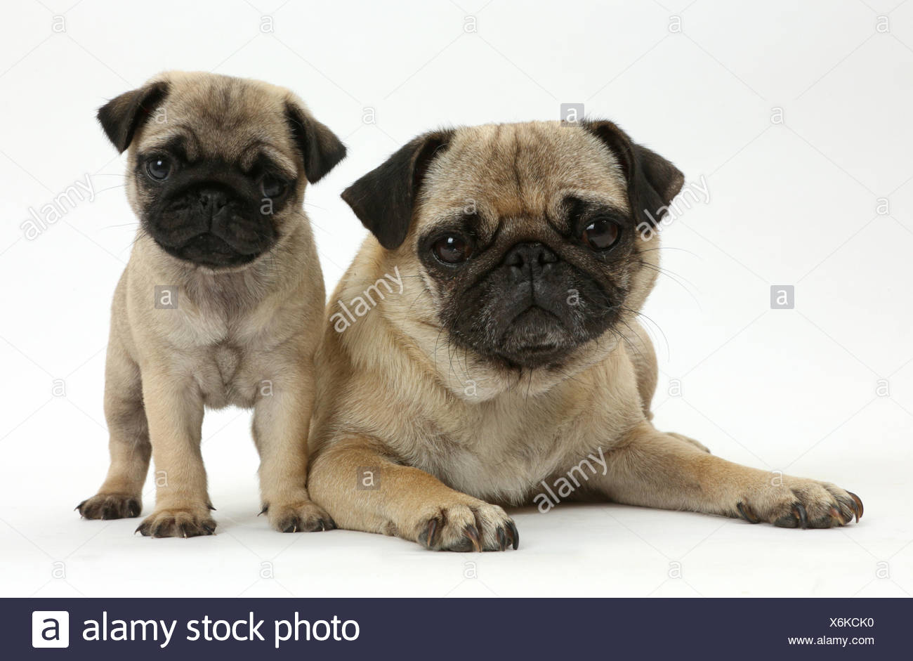 Pug mother and puppy. - Stock Image