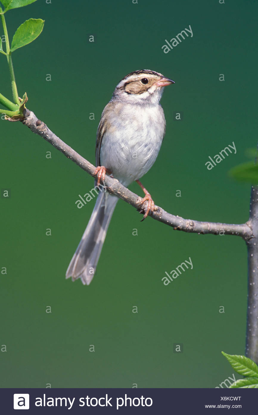 Clay-colored Sparrow - Spizella pallida - Stock Image