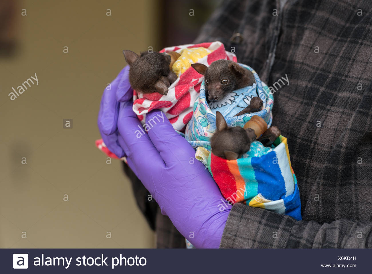 Tolga Bat Hospital volunteer handling Little red flying foxes (Pteropus scapulatus) babies wrapped in nappies cuddling a pillow - Stock Image