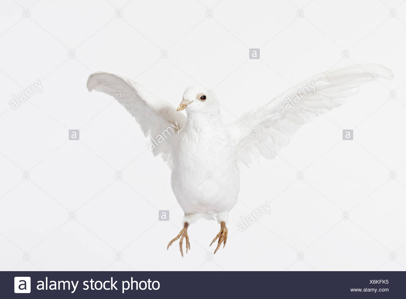 Close up of white dove flying - Stock Image
