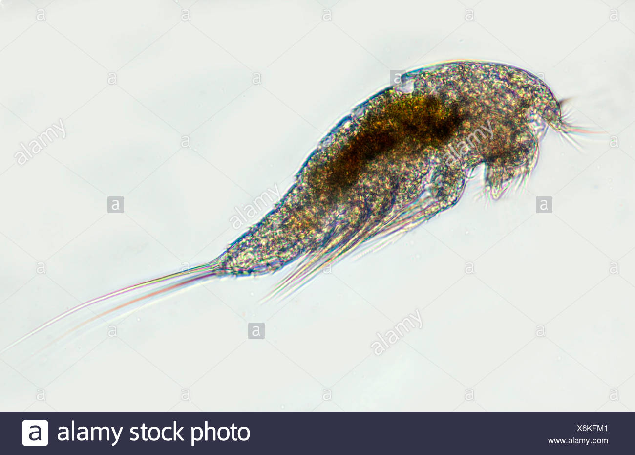 Marine Crustacean microscopic - Stock Image