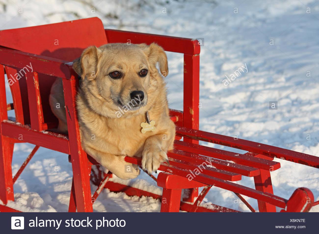 dog on a sleigh - Stock Image