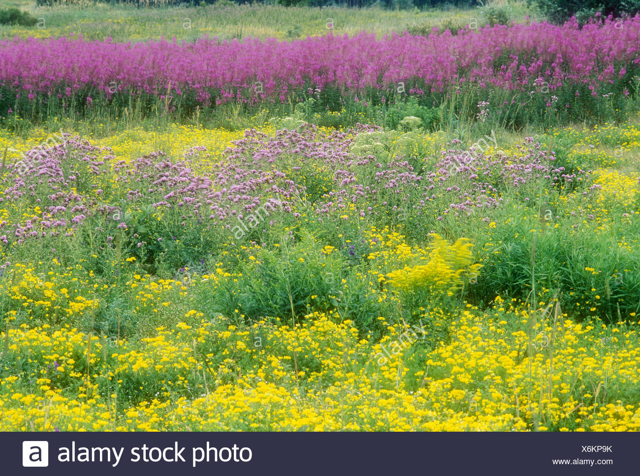 Pastel Lotus Flower Stock Photos Pastel Lotus Flower Stock Images
