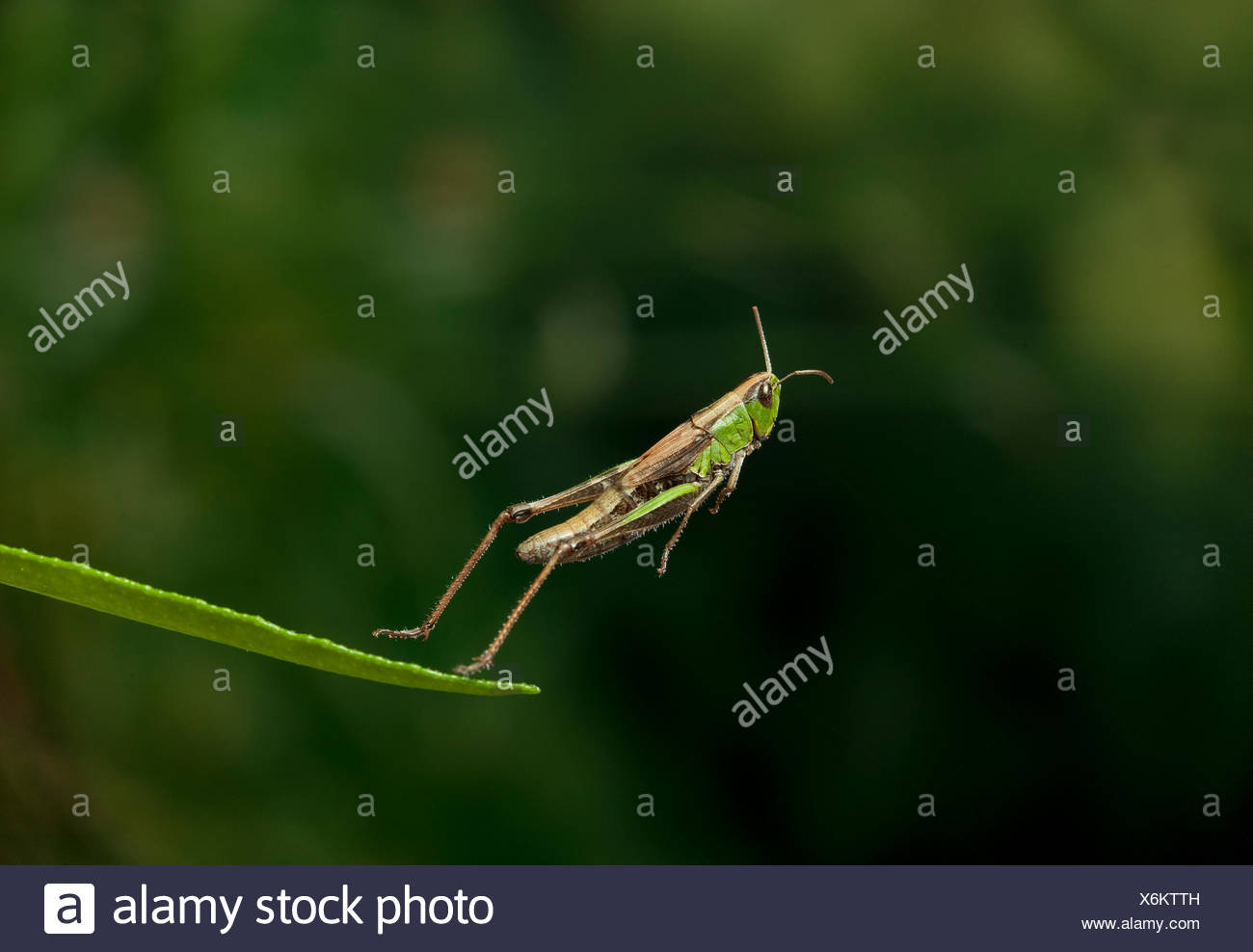 Meadow grasshopper (Chorthippus parallelus) leaping, UK - Stock Image