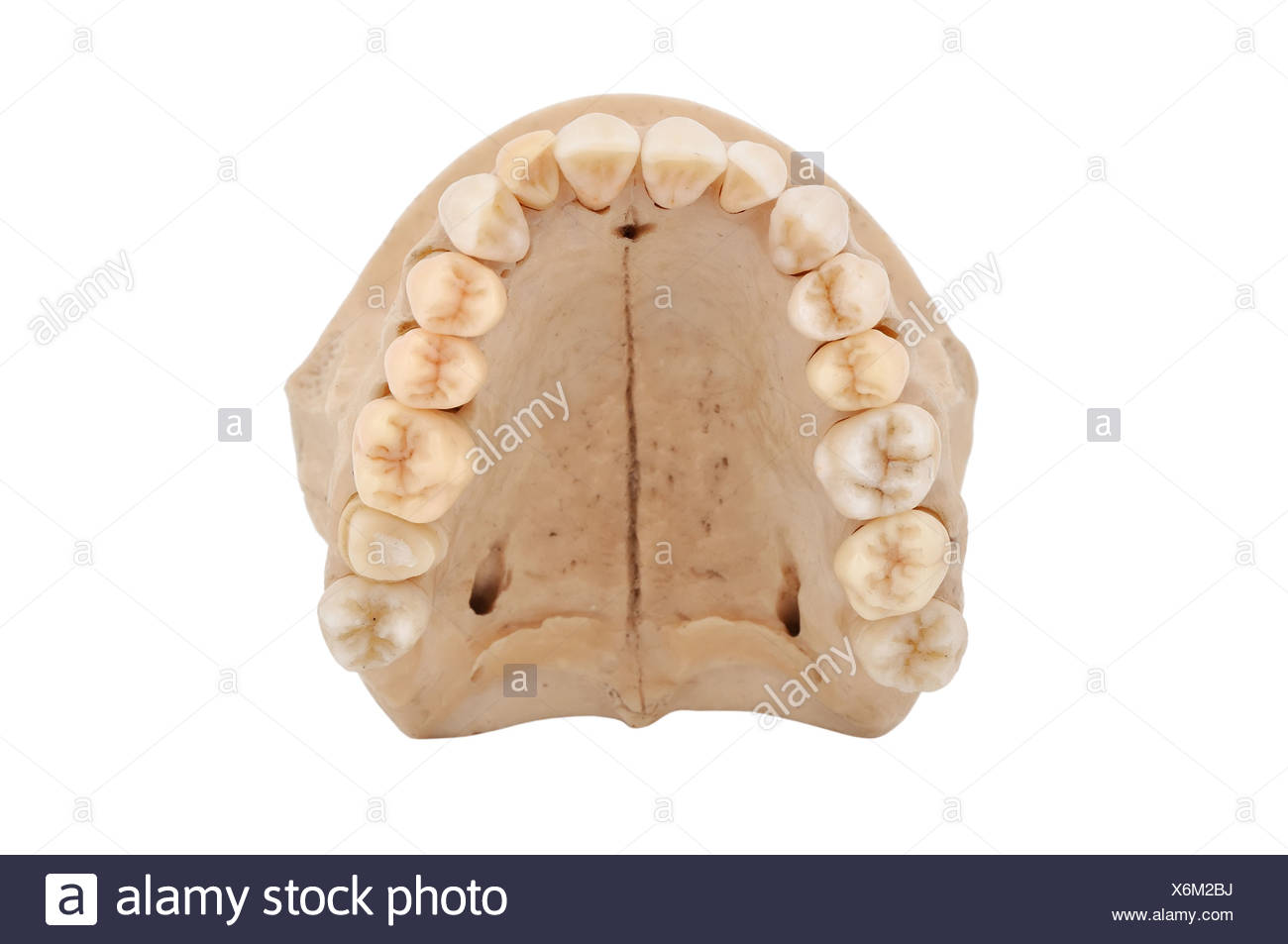 Upper Jaw Bone Stock Photos Upper Jaw Bone Stock Images Alamy