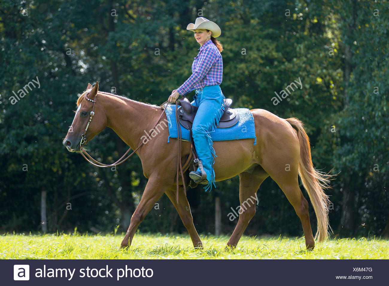 American Quarter Horse Western Rider With Chestnut Gelding Walking On A Pasture Germany Stock Photo Alamy