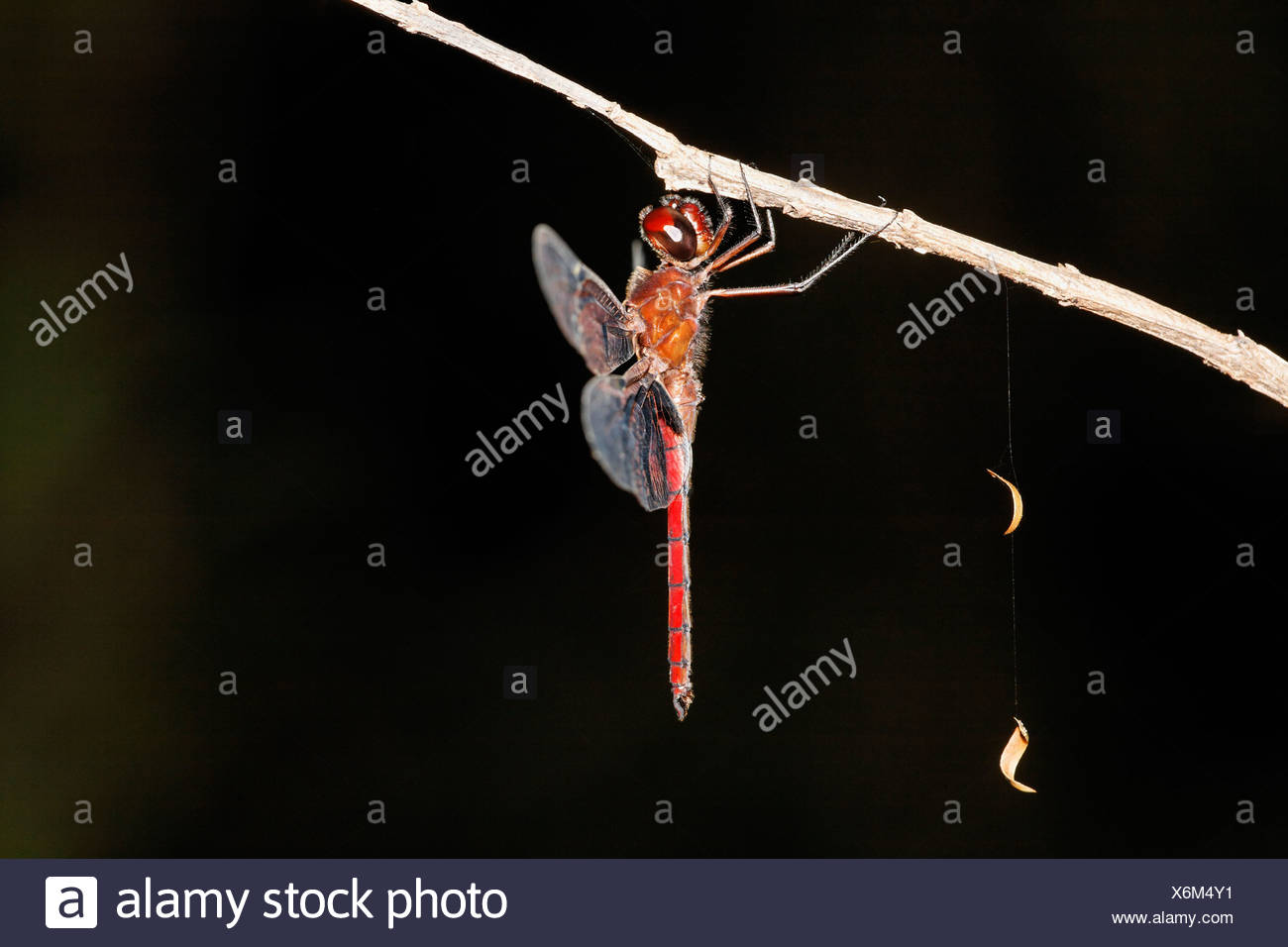 Costa Rica, Dragonfly hanging on twig - Stock Image