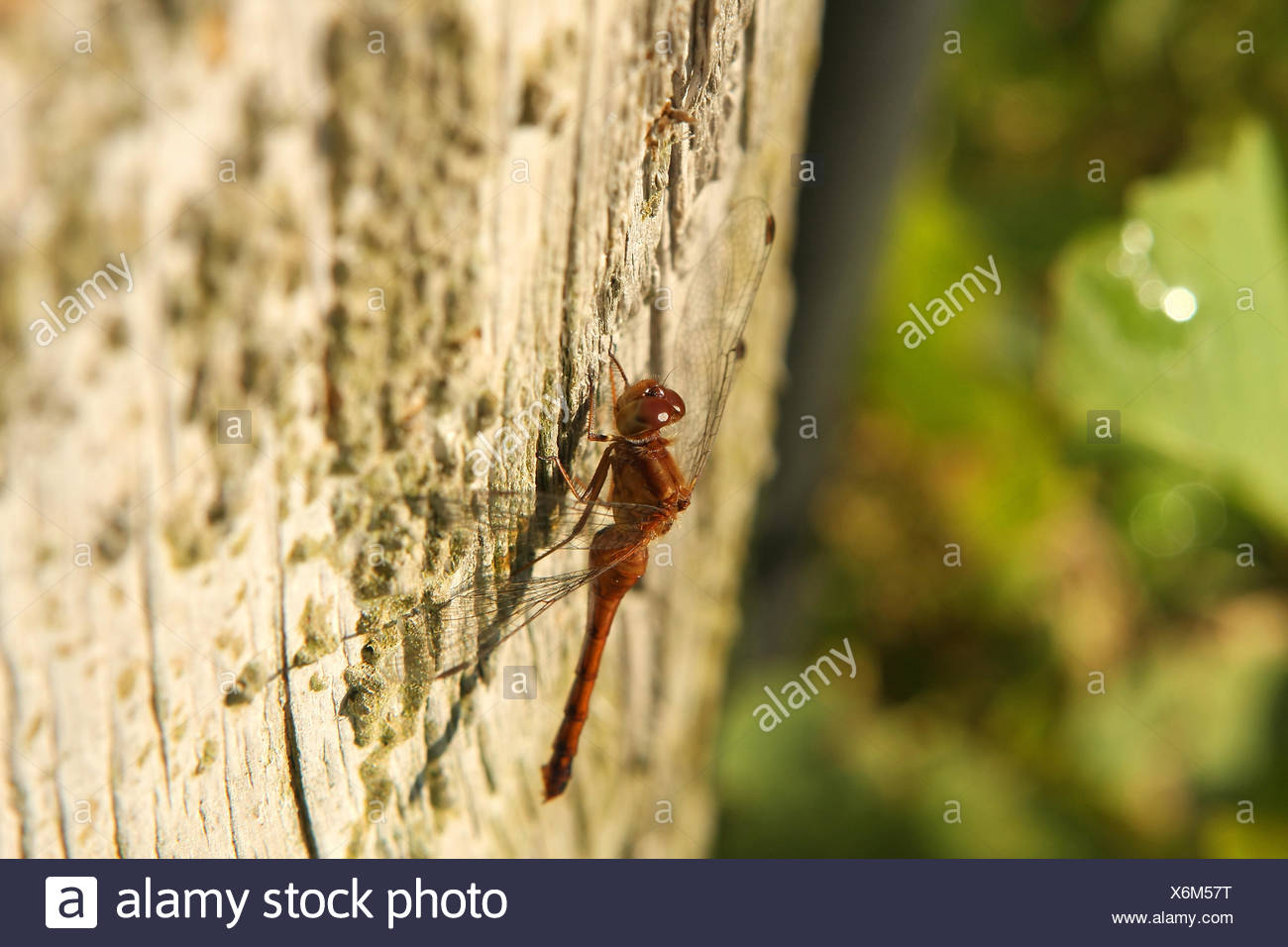 Ruby Meadowhawk Dragonfly Female Stock Photo