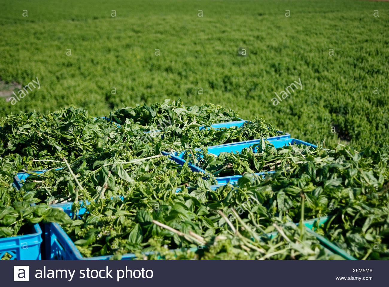 Agriculture; Farm; Harvesting; Organic; Organic farming; Organic food; Basil; baskets; Green; Rural scen; Nature; No person - Stock Image