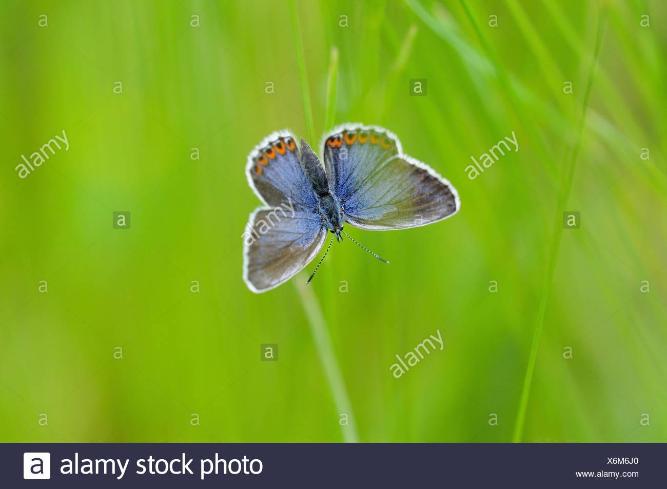 common blue (Polyommatus icarus), female, Germany - Stock Image