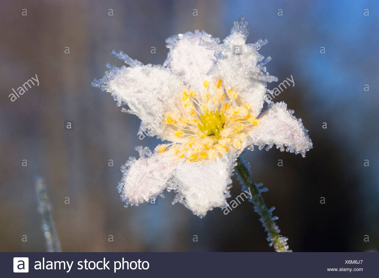 Wood Anemone with whitefrost, Anemone nemorosa Stock Photo