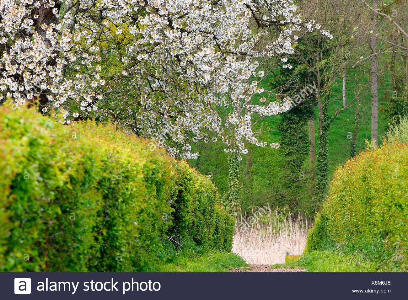 wild cherry, sweet cherry, gean, mazzard (Prunus avium), path between hedges an cherry trees, Belgium - Stock Image