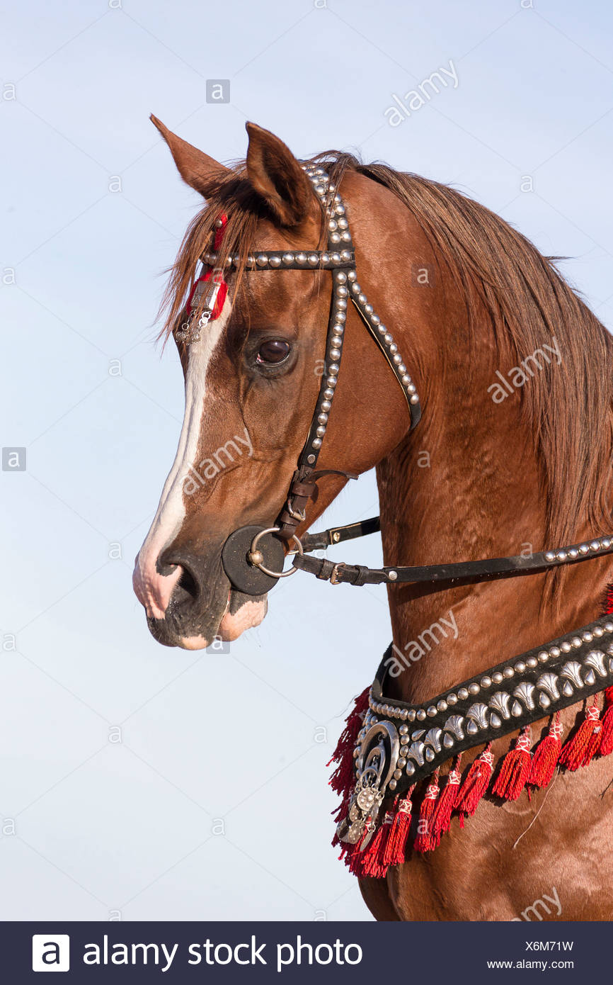 Purebred Arabian Horse Chestnut Mare With Traditional Tack Stock Photo Alamy