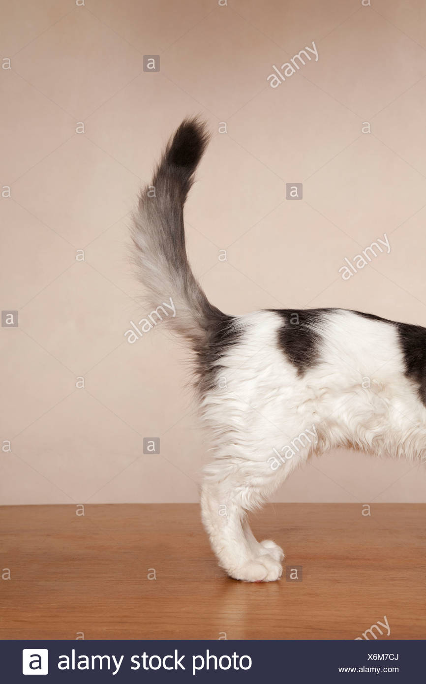 A young kitten with black patches on its white fur on its back, and a grey and black tail. - Stock Image
