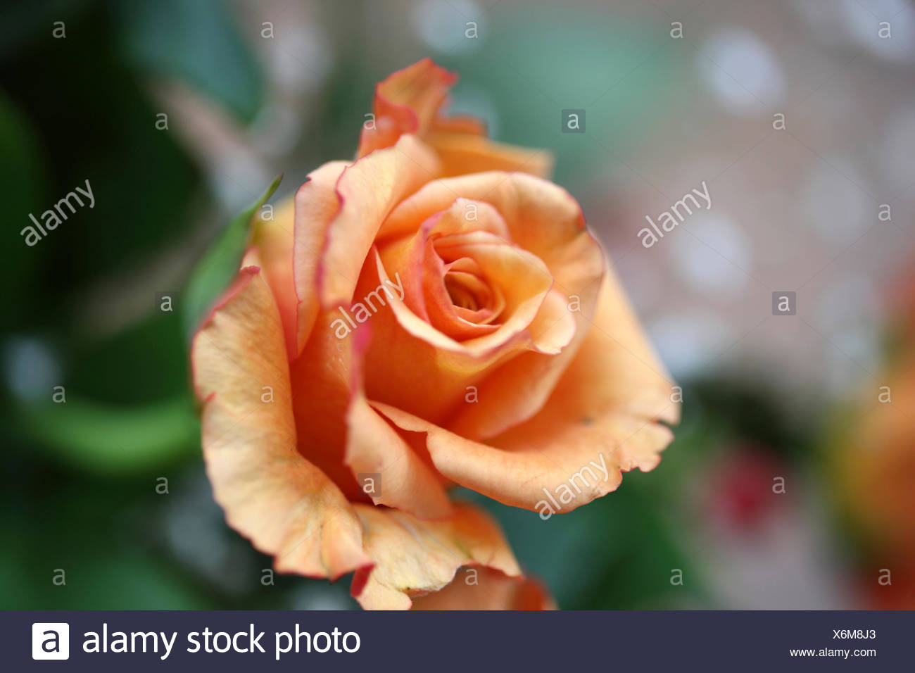 flowers, rose, Stock Photo