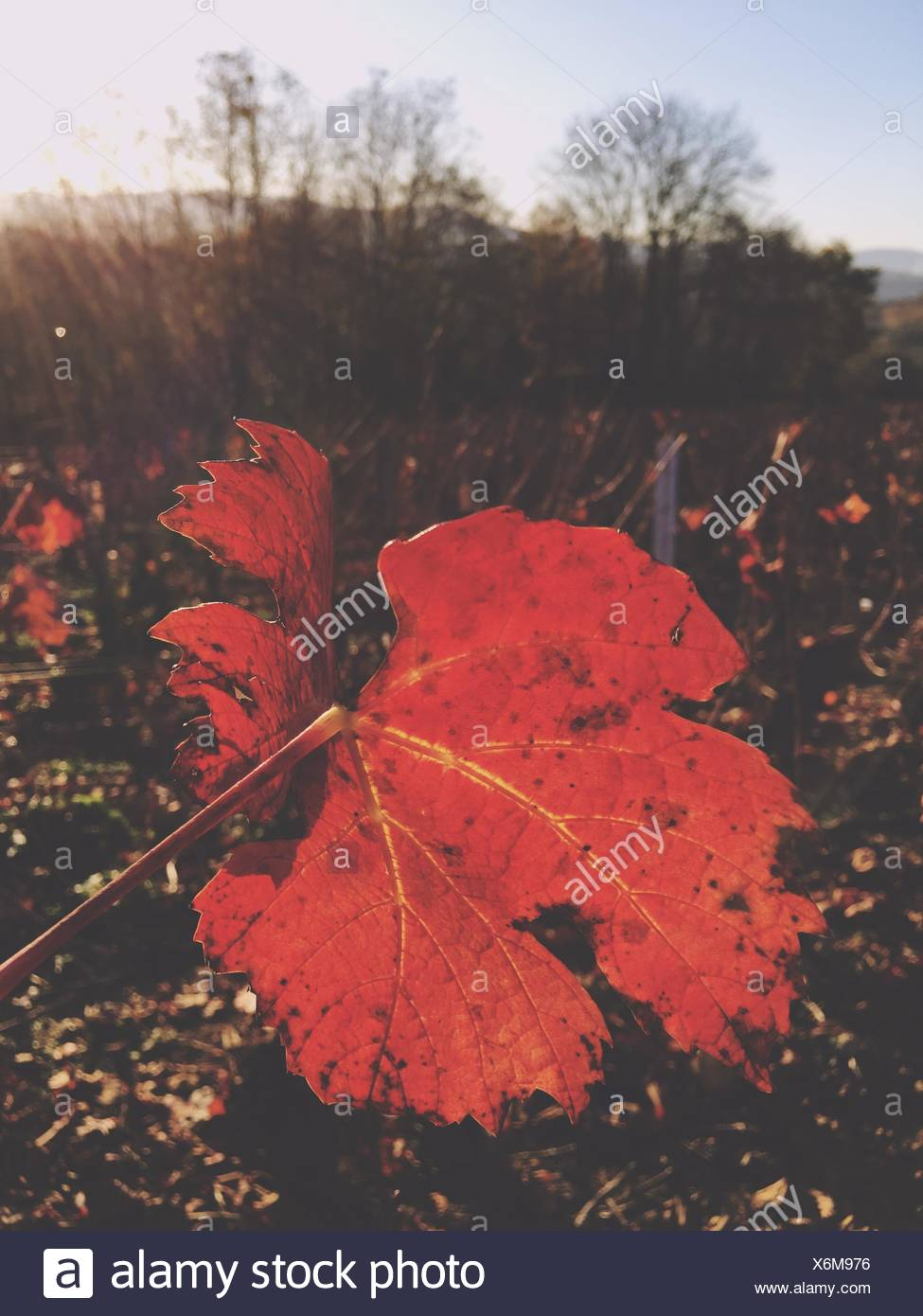 Close-Up Of Leaves Growing On Field During Autumn - Stock Image