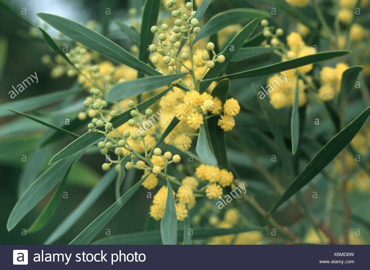 Red Eyed Wattle Western Coastal Wattle Acacia Cyclops Blooming