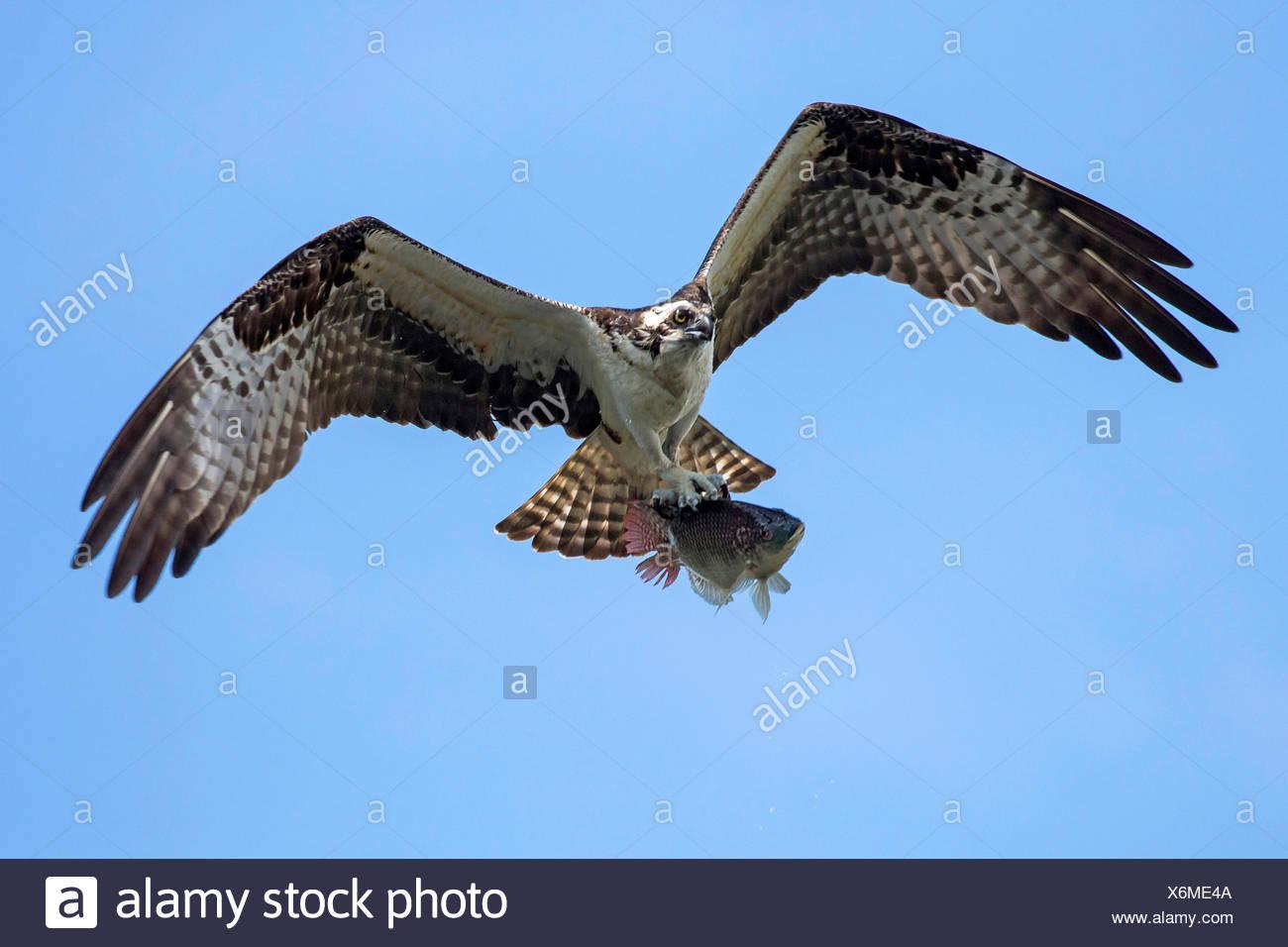 osprey, fish hawk (Pandion haliaetus), flying with caught Tilapia, USA, Florida, Kissimmee - Stock Image