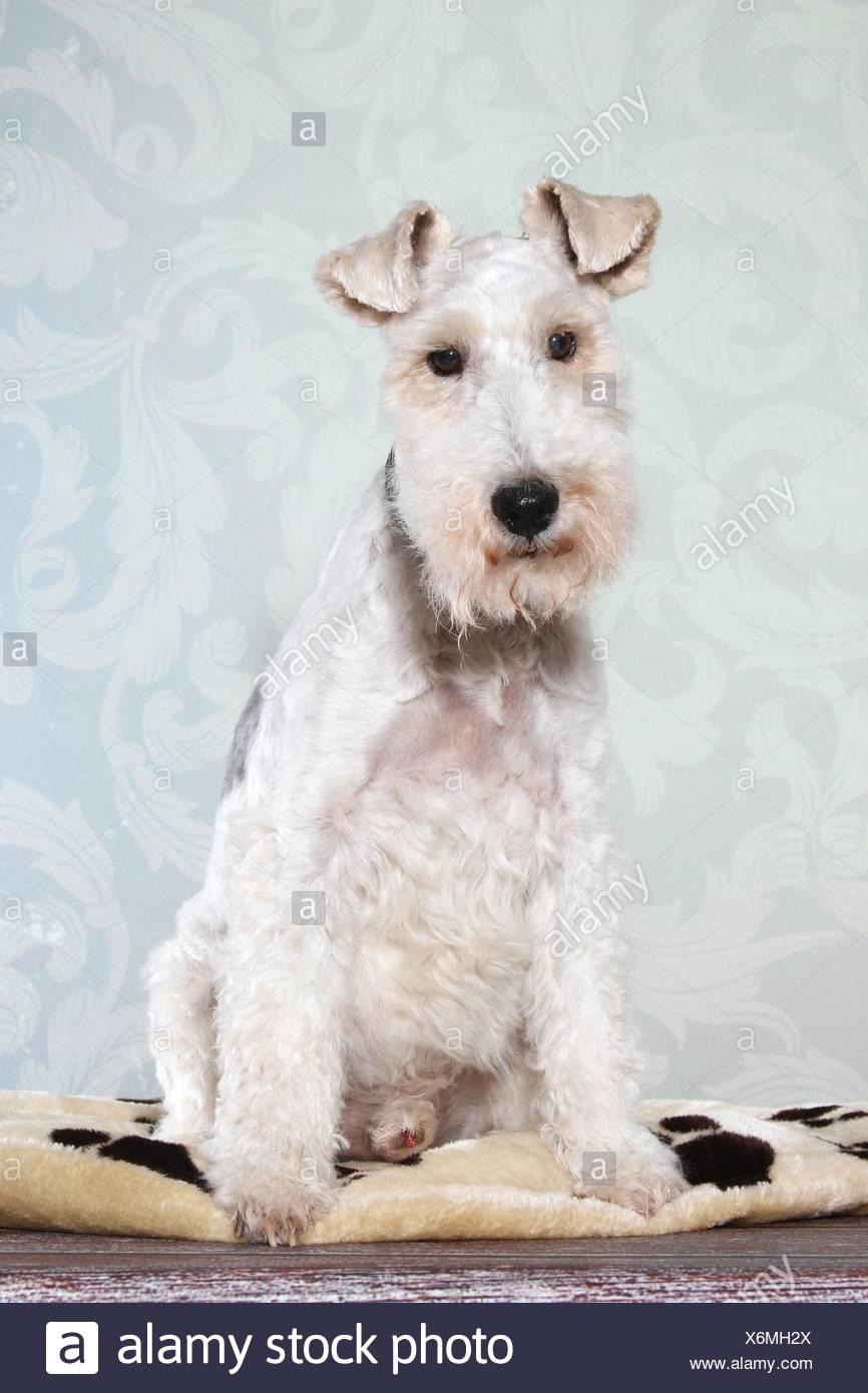 sitting Fox Terrier Stock Photo: 279506274 - Alamy