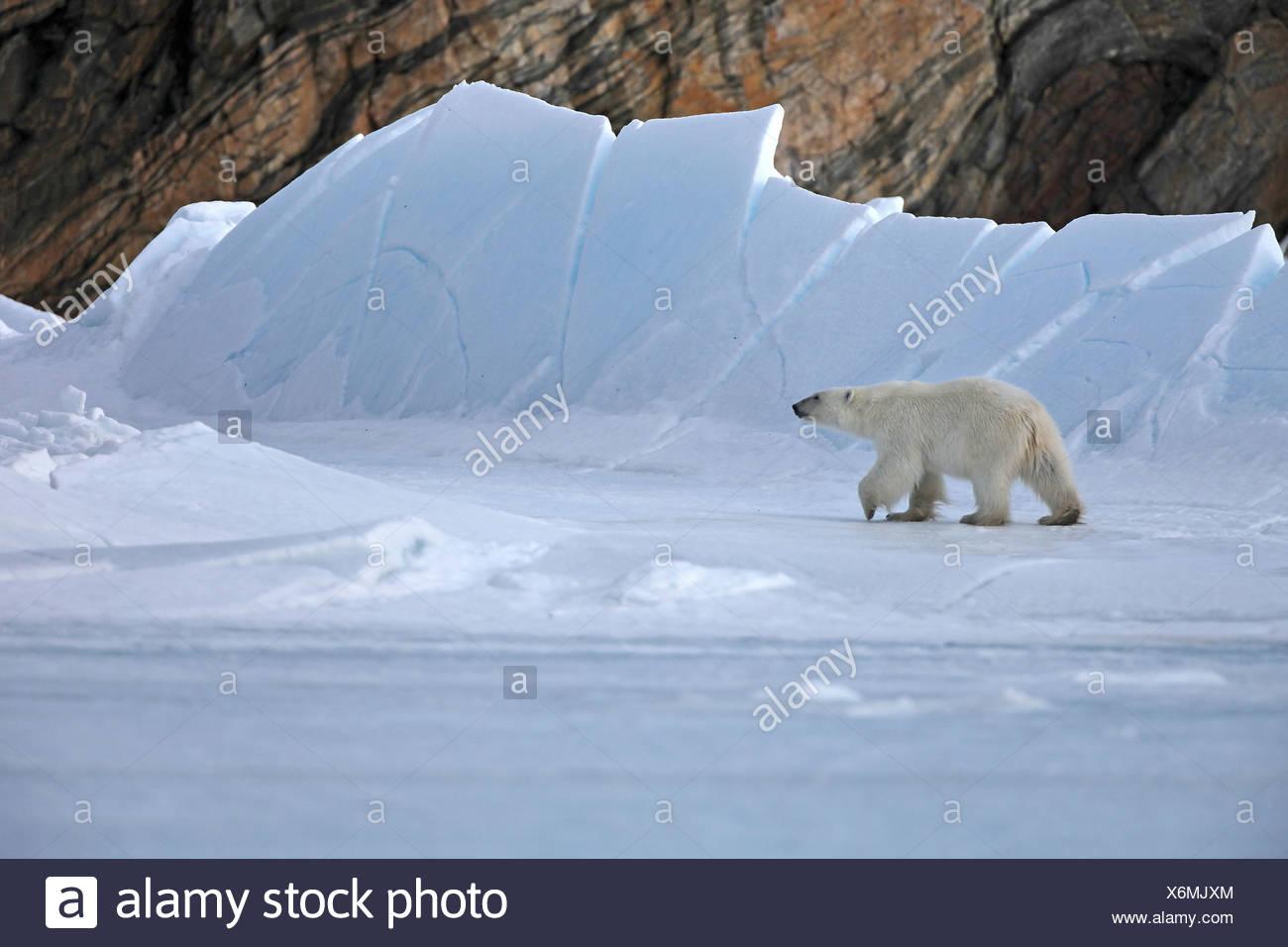 polar bear (Ursus maritimus), walking through arctic landscape, Canada, Nunavut - Stock Image