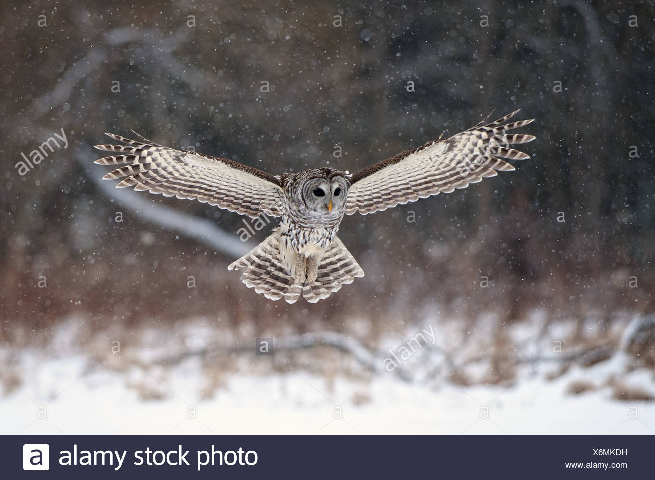 Barred Owl swoops down to land in snow, Ontario, Canada, Winter - Stock Image