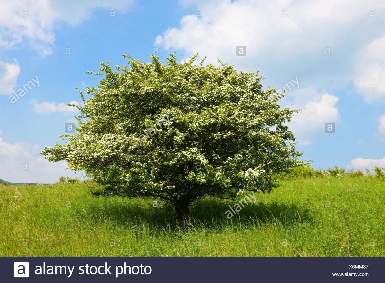 Common hawthorn (Crataegus monogyna), solitary tree, flowering, Thuringia, Germany - Stock Image