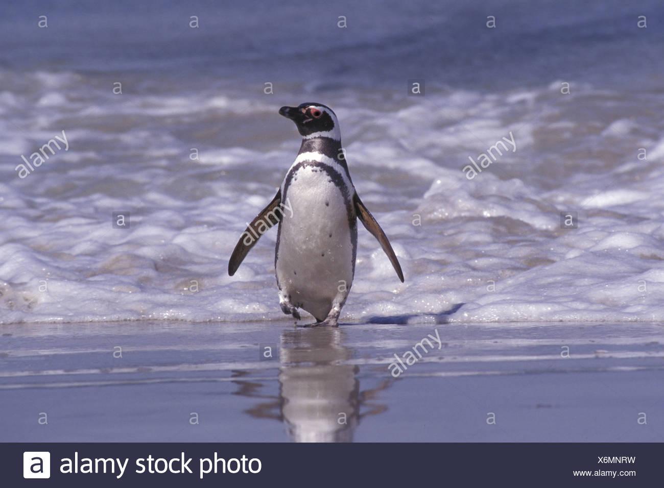 Magellan Penguins - Stock Image