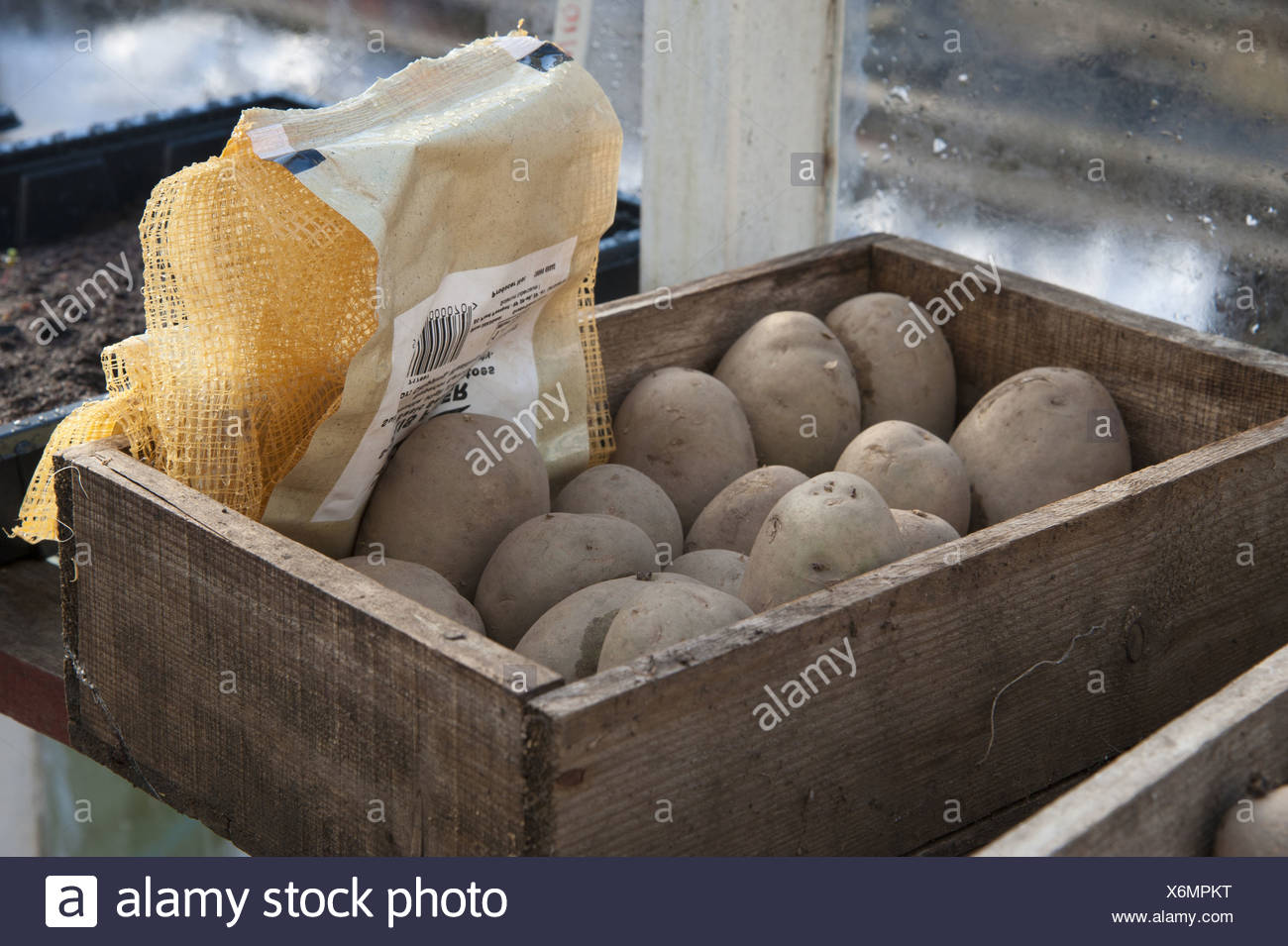 Potato (Solanum tuberosum) 'Maris Piper' variety seed tubers in wooden box in garden greenhouse Chipping Lancashire England - Stock Image