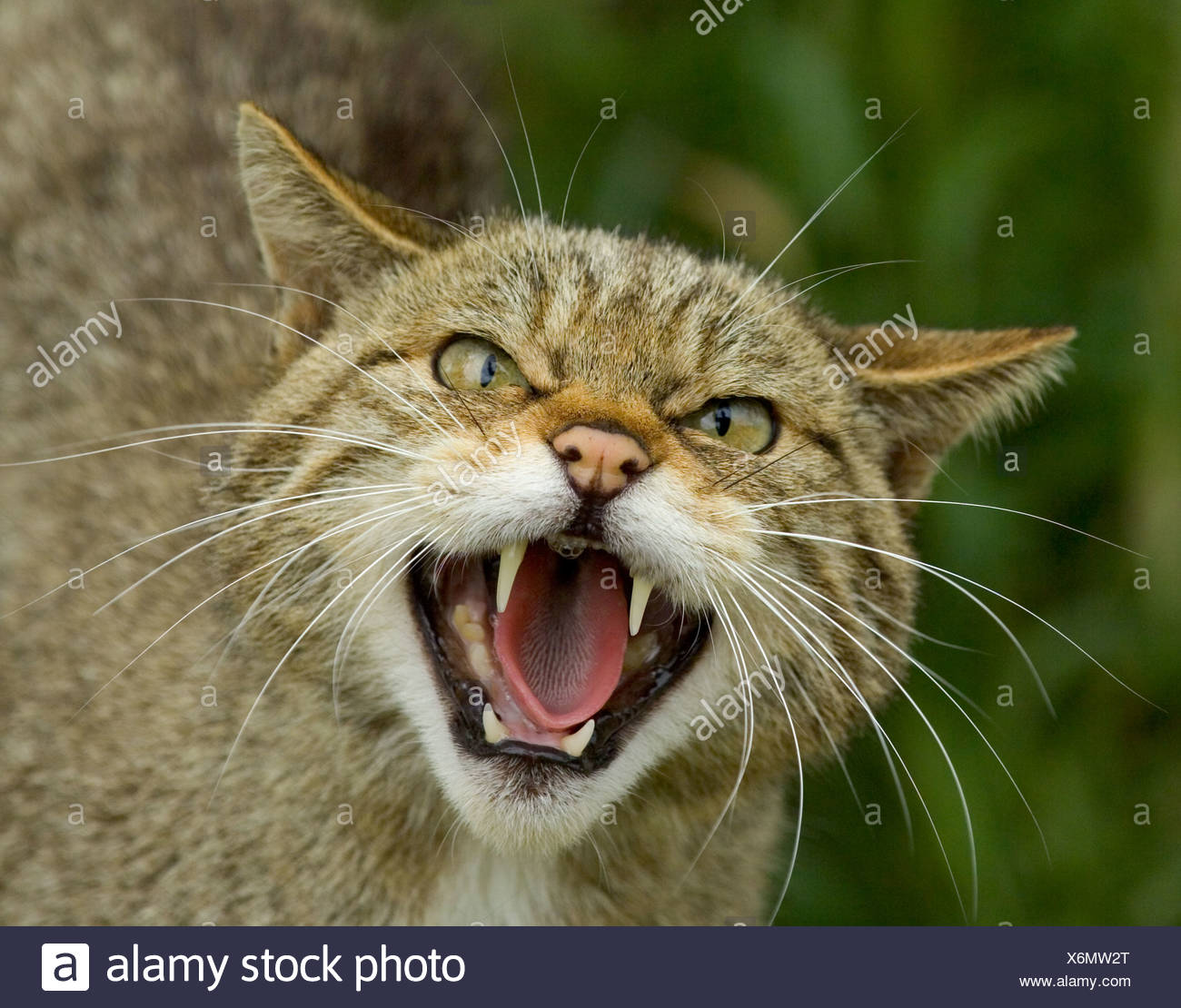 Scottish Wildcat Felis silvestris snarling Scotland Stock Photo