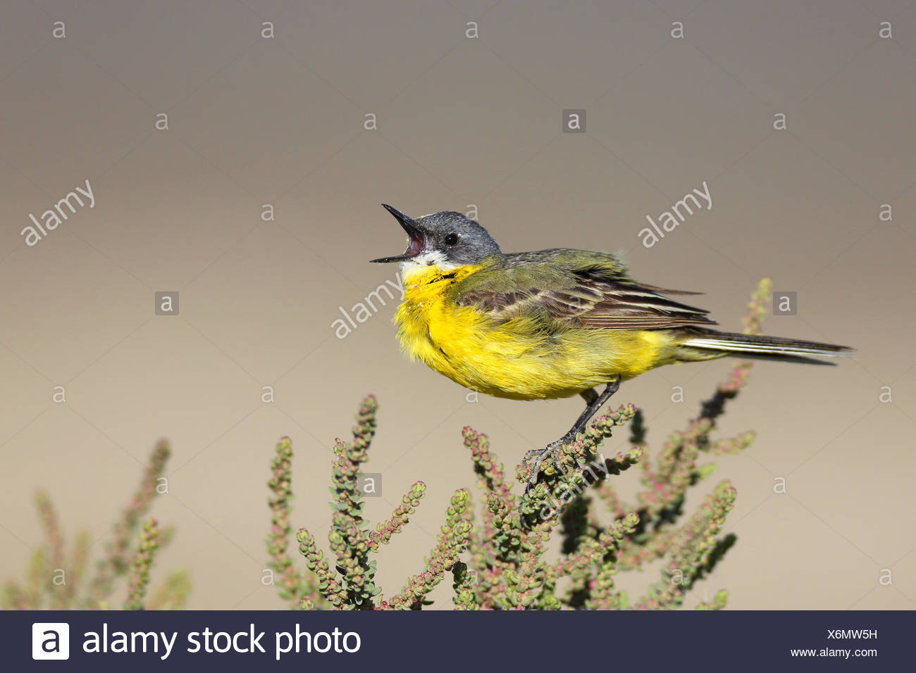 Ashy-headed Wagtail, Yellow wagtail (Motacilla flava cinereocapilla), calling male sitting on a succulent shrub, France, Camargue - Stock Image