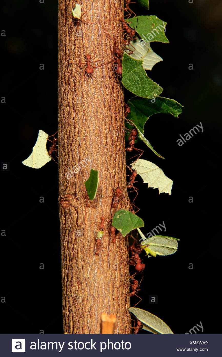 Leafcutter ants (Atta sexdens) transporting cut leaves, found in Central and South America, captive - Stock Image