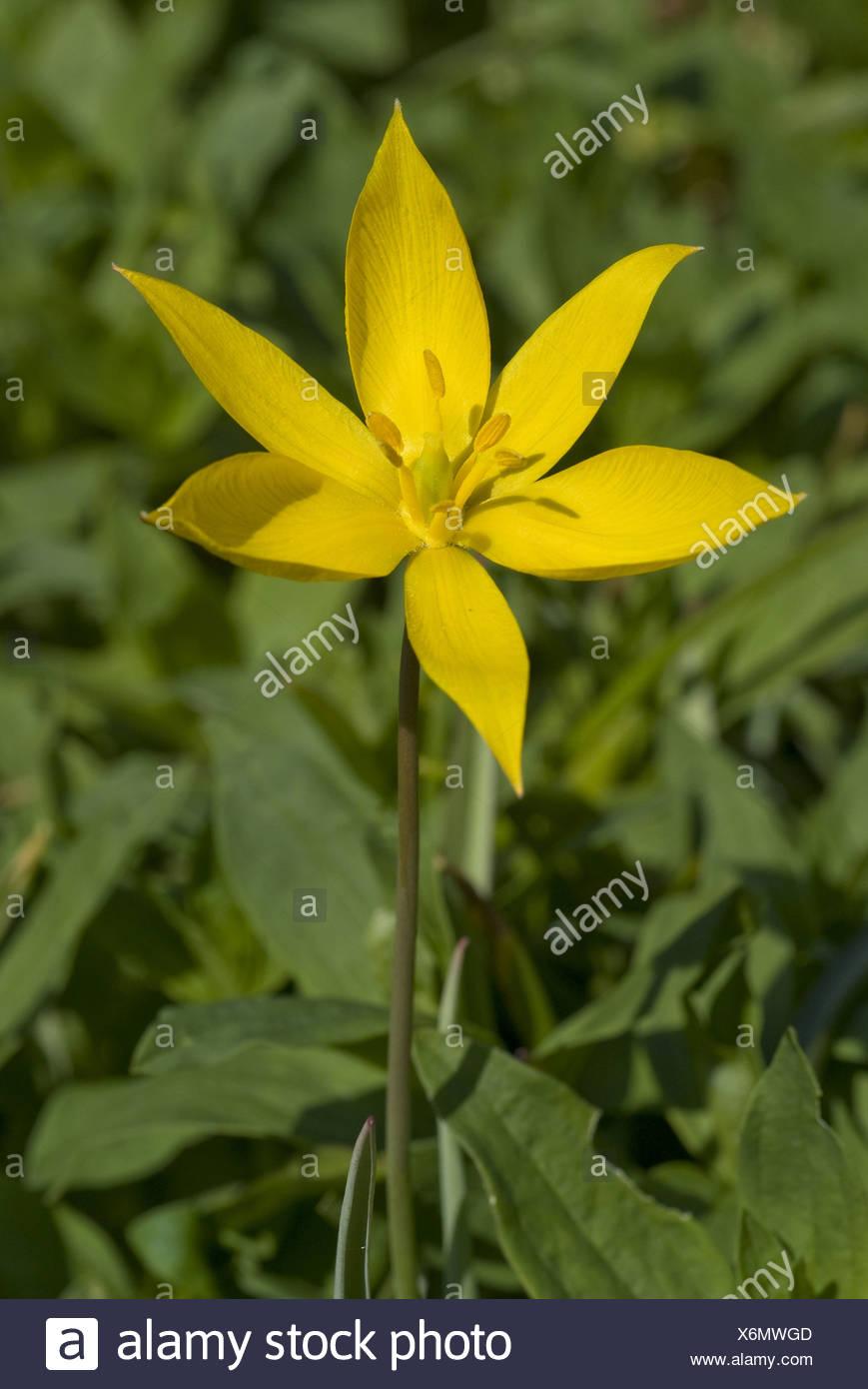 wild tulip, tulipa sylvestris - Stock Image