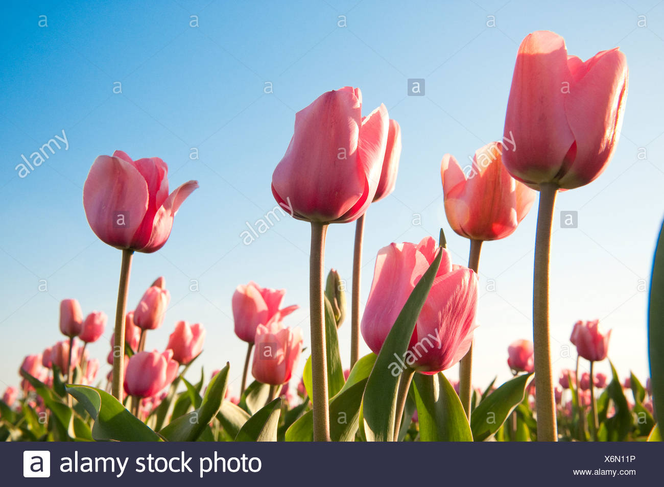Pink tulips, Skagit County, Washington - Stock Image