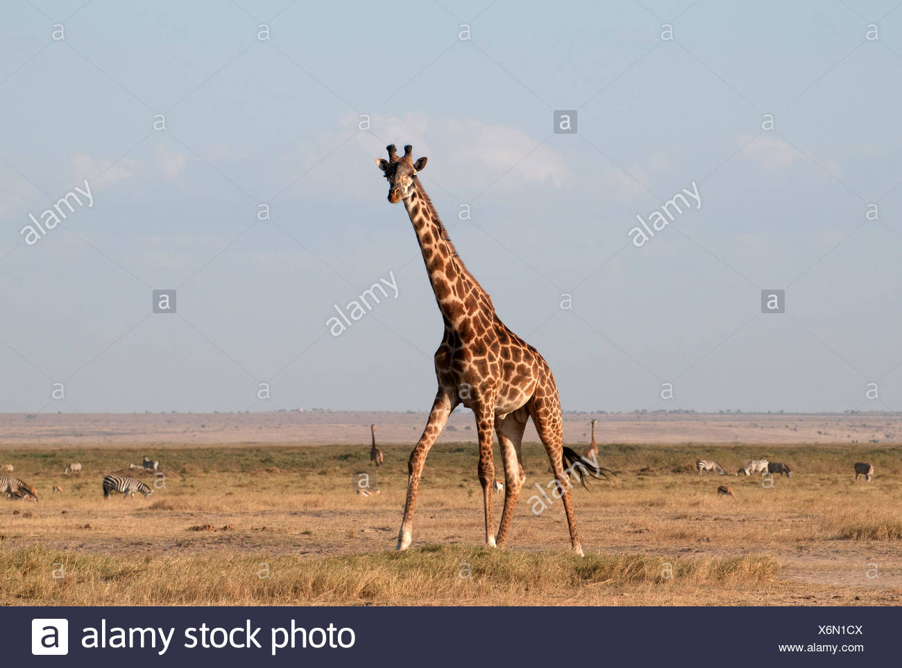 Common Giraffe in Amboseli National Park Kenya East Africa  TWO COMMON GIRAFFE AMBOSELI KENYA - Stock Image