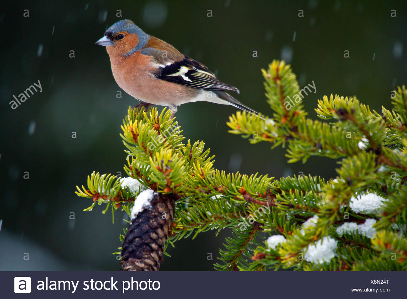 chaffinch (Fringilla coelebs), siting on a spruce branch, Sweden, Hamra National Park - Stock Image
