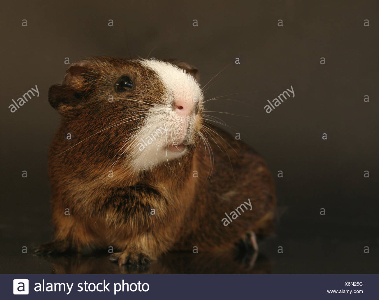 pet brown brownish brunette rodent caress guinea-pig guinea pig knopfauge Stock Photo