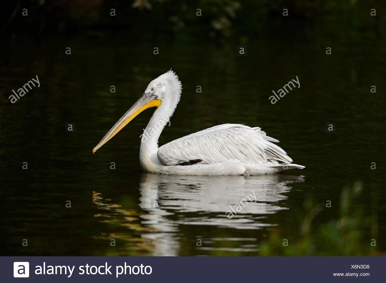 Dalmatian pelican swimming on a lake - Stock Image