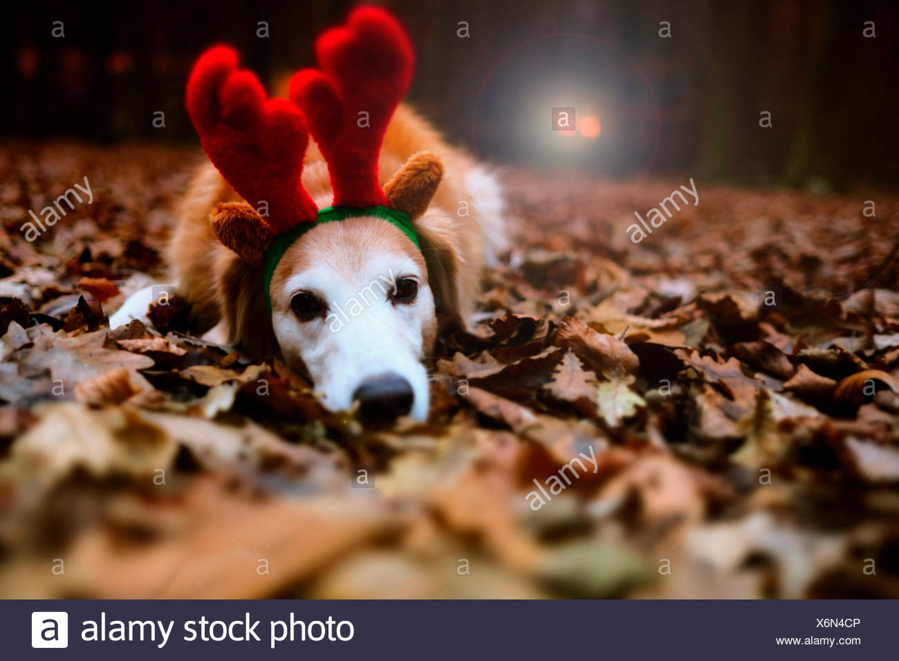 Dreaming of a White Christmas: Christmas without snow, dog with reindeer antlers - Stock Image