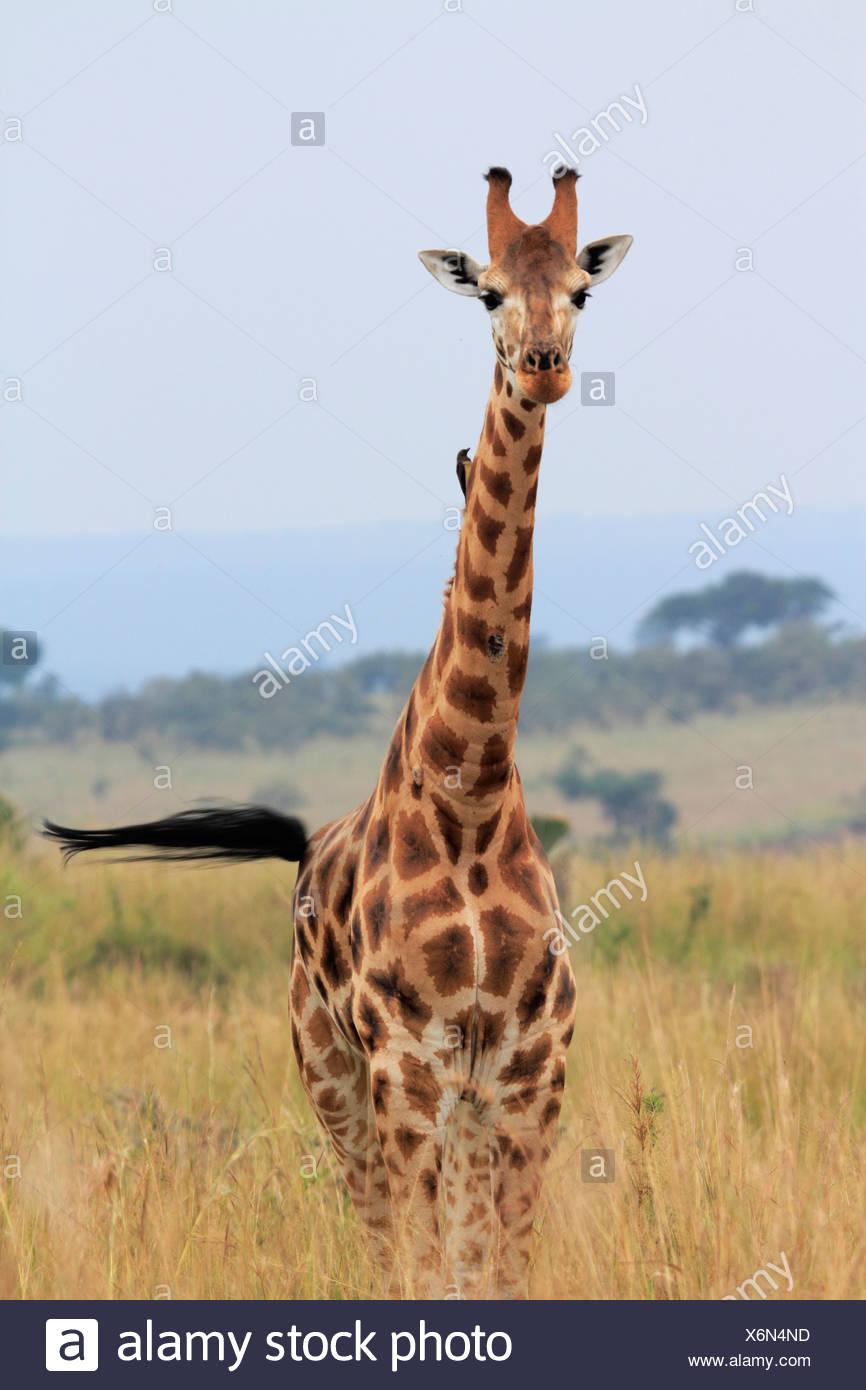 Rothschild's giraffe, Rothschild giraffe, Baringo Giraffe, Ugandan Giraffe (Giraffa camelopardalis rothschildi), single animal in the savanna, Uganda, Murchison Falls National Park - Stock Image