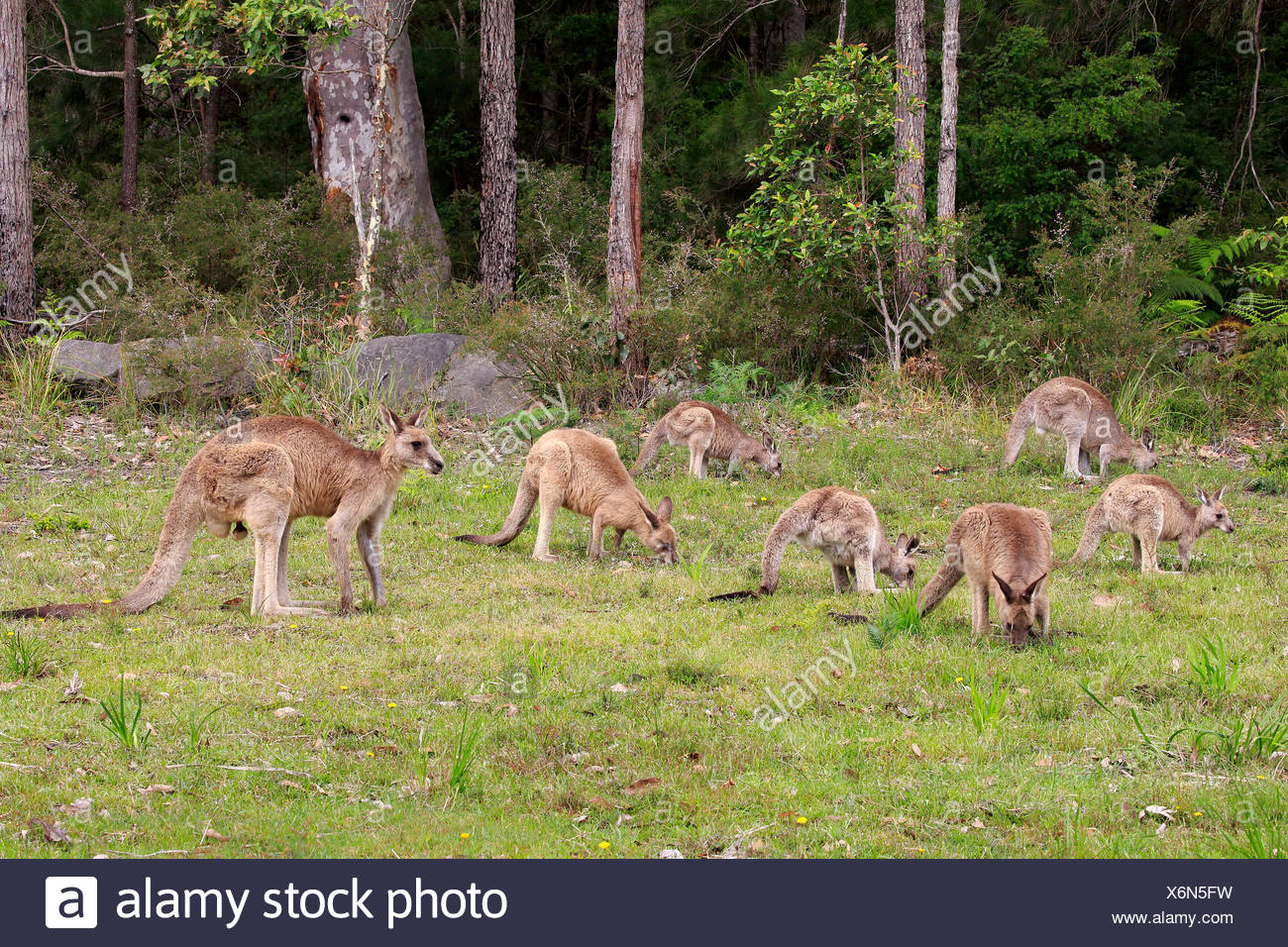 Eastern Gray Kangaroo (Macropus giganteus), group feeding, foraging, Merry Beach, Murramarang National Park, New South Wales - Stock Image