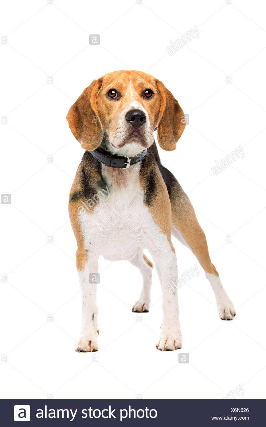 beagle dog standing - Stock Image