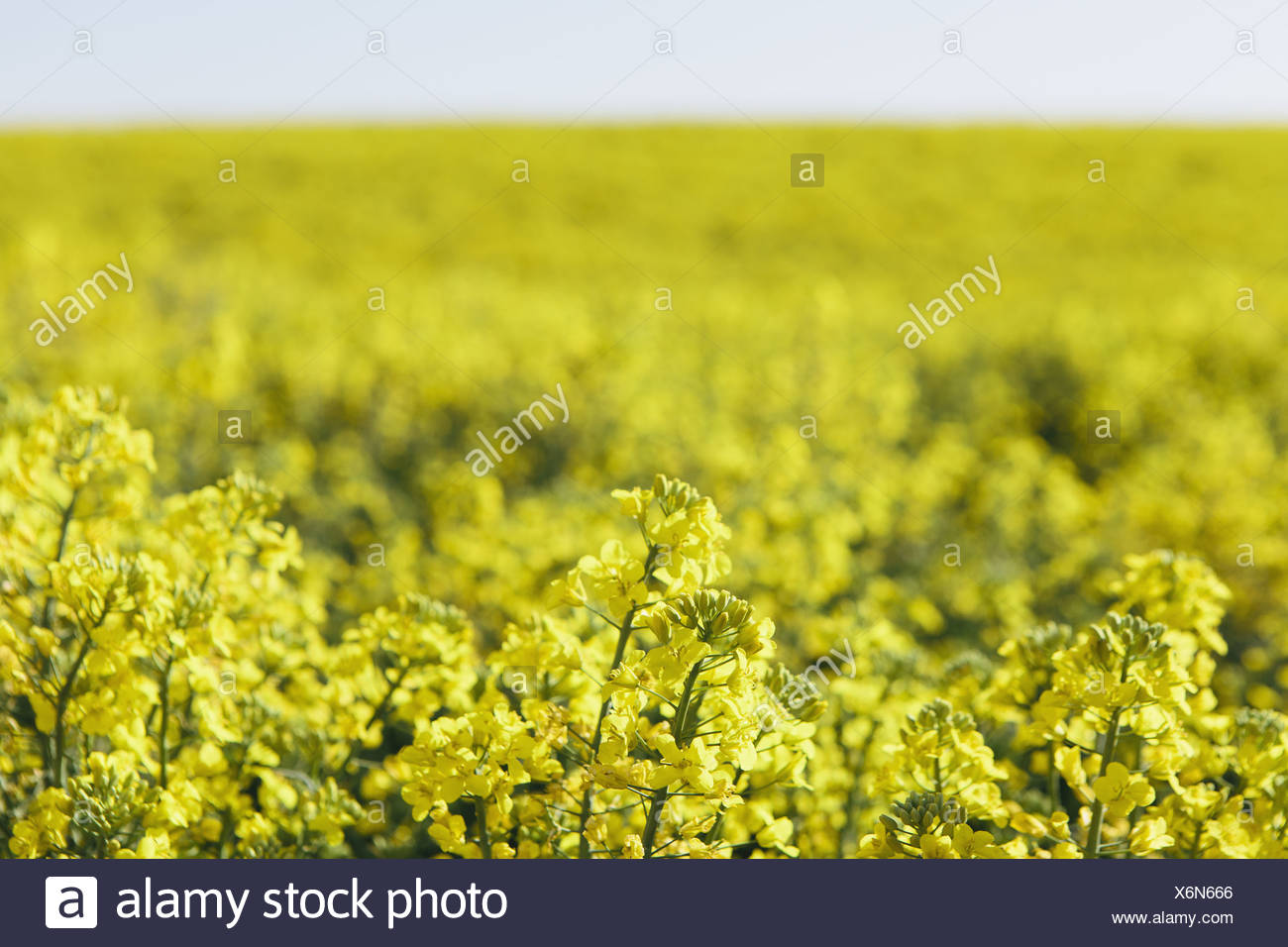 A Field Of Yellow Flowering Blooming Mustard Seed Plants In Spring