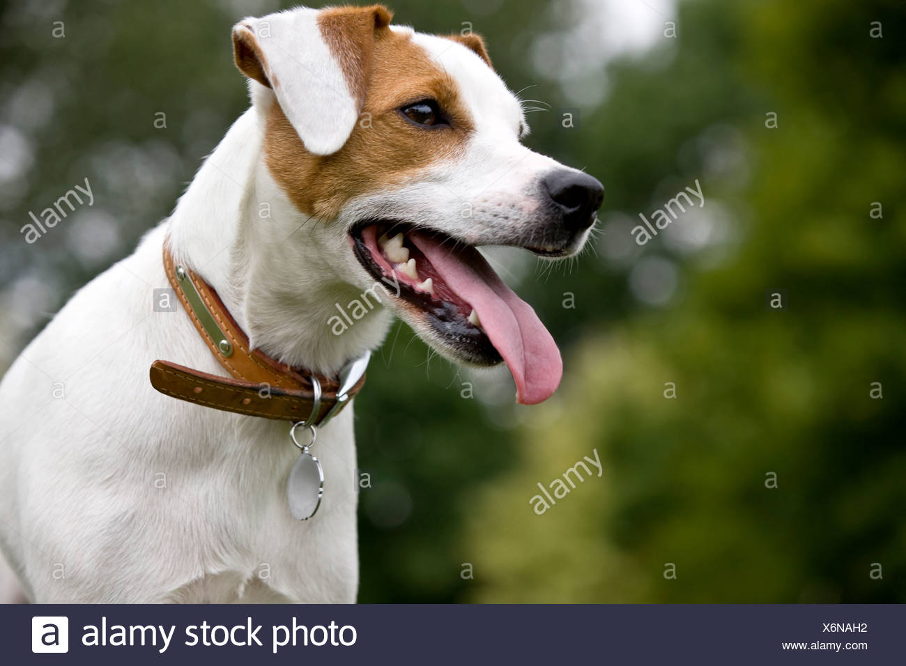 Portrait of a parsons terrier dog - Stock Image