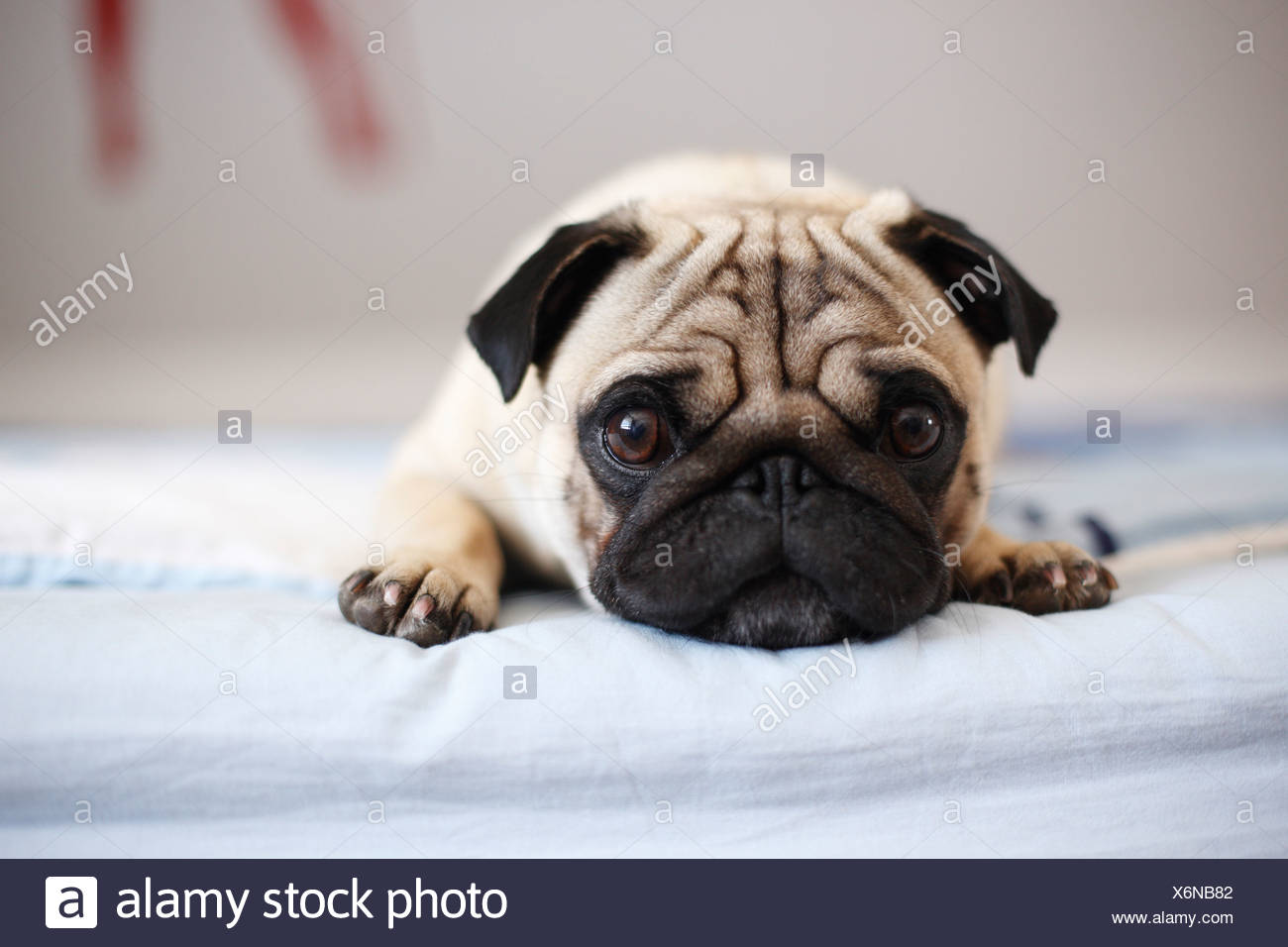 Pug (Canis lupus f. familiaris), whelp lying at the edge of a bed - Stock Image