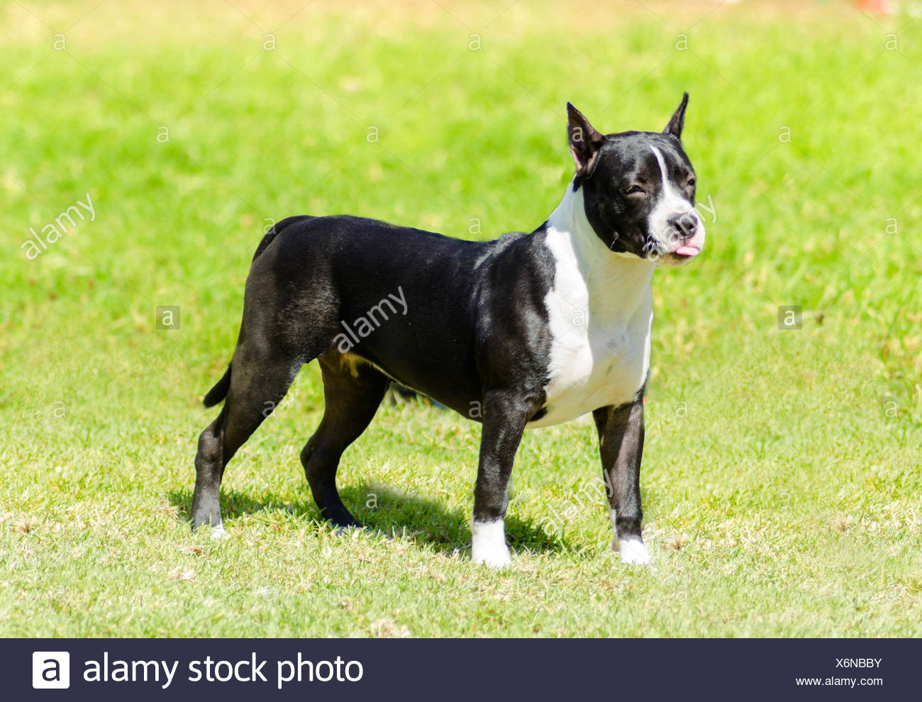 black american staffordshire terrier american bulldog cropped ears stock photos american 224